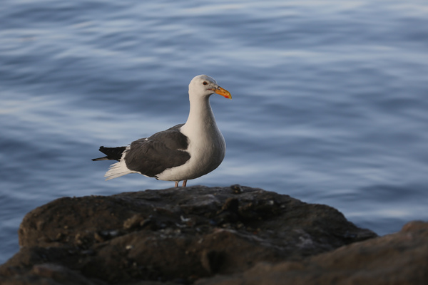 Western Gull - Long Beach