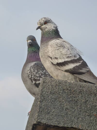 Les pigeons de ma terrasse