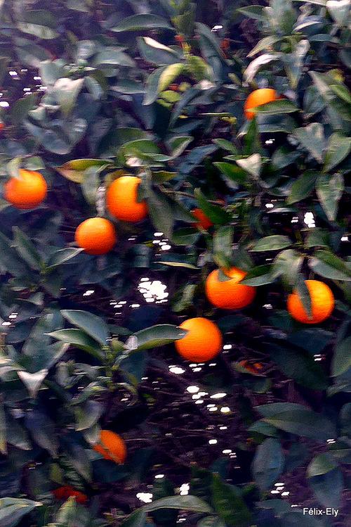 Les oranges sur l'oranger
