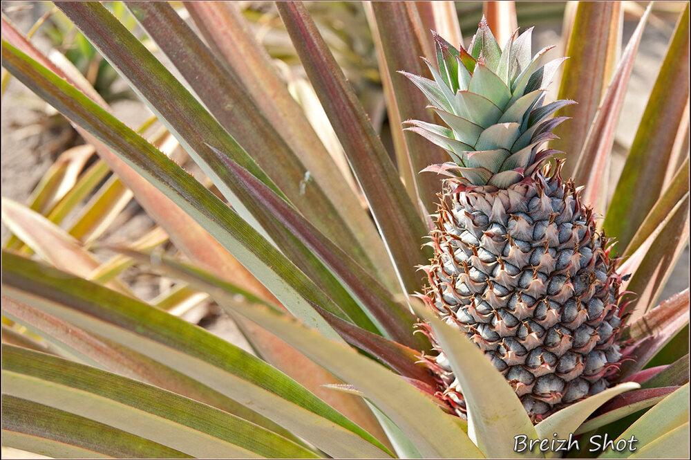 ananas - kampot- kep