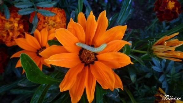 Gasania orange (2)
