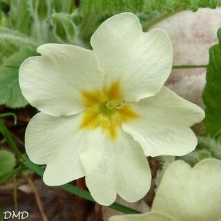 Primula vulgaris - primevère acaule