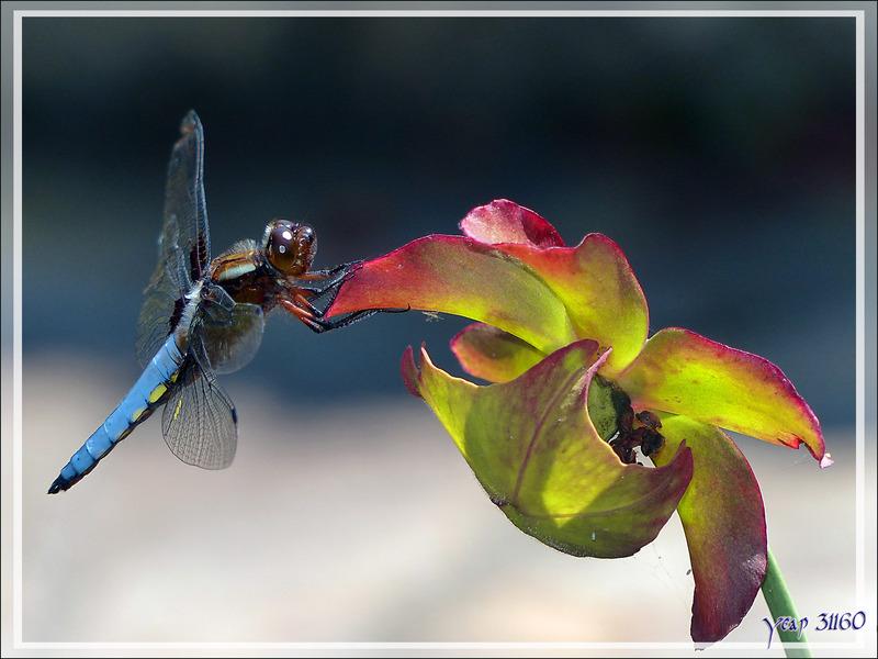 """Libellule Déprimée mâle (Libellula Depressa) sur inflorescence de plante carnivore """"sarracenia"""" - Lartigau - Milhas - 31"""