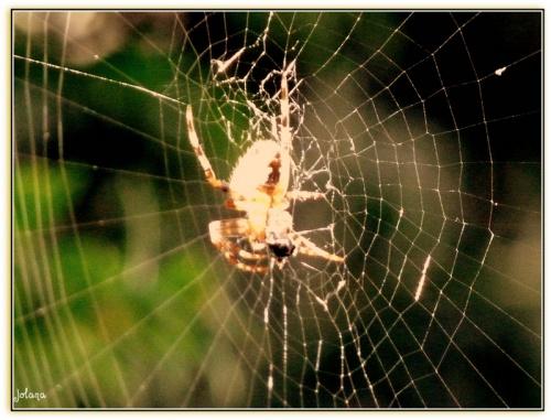 araignée équilibriste dans le jardin !