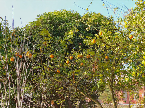 des orangers;