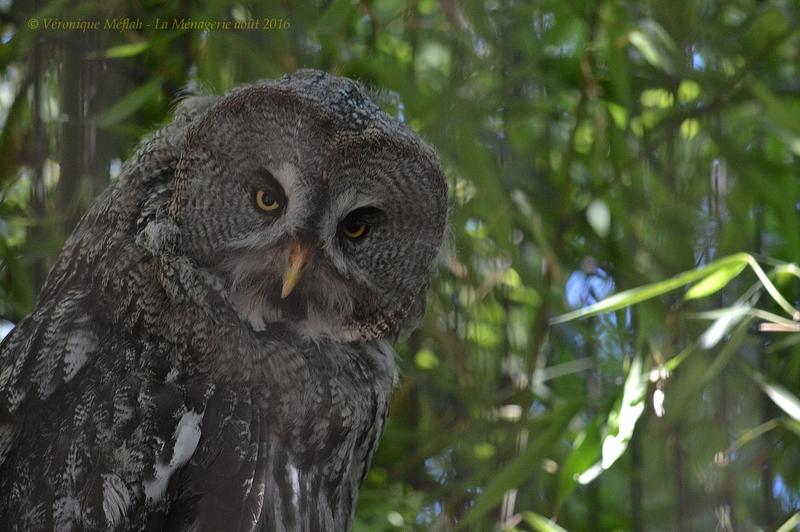 La Ménagerie, le Zoo du Jardin des Plantes : Chouette de l'Oural et Chouette Lapone