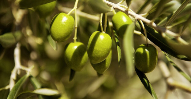 Olive nutritive / PELT / 1994