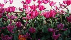 parc floral - les tulipes