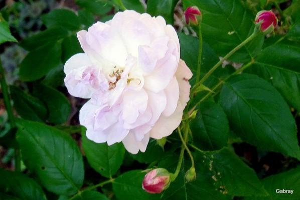 P05 - Rose 5