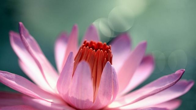 Wallpaper flower, bud, petals, pink