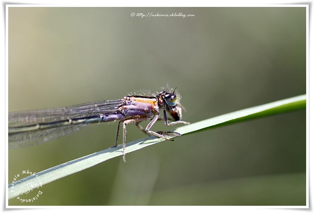 Ischnure élégante femelle immature (Ischnura elegans)