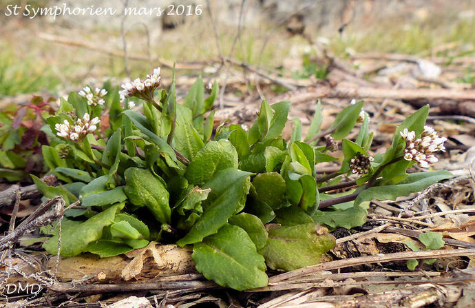 Microthlaspi perfoliatum (Kandis perfoliata)  -   tabouret perfolié