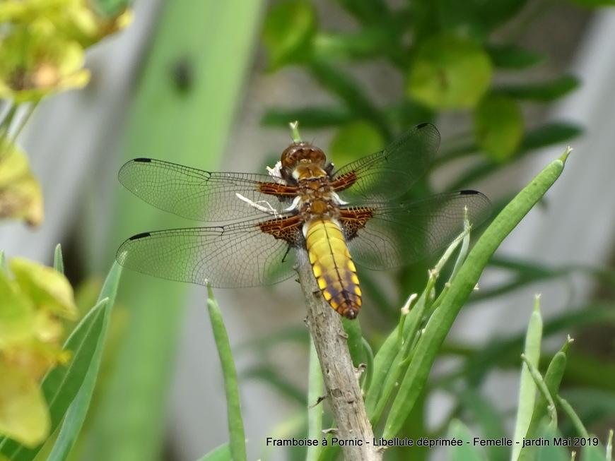 Libellule déprimée femelle dans le jardin