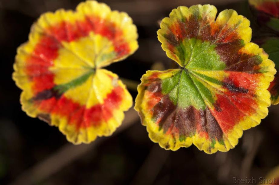 Les lumières de l'automne au jardin breton : Le pelagornium a pris les couleurs d'automne