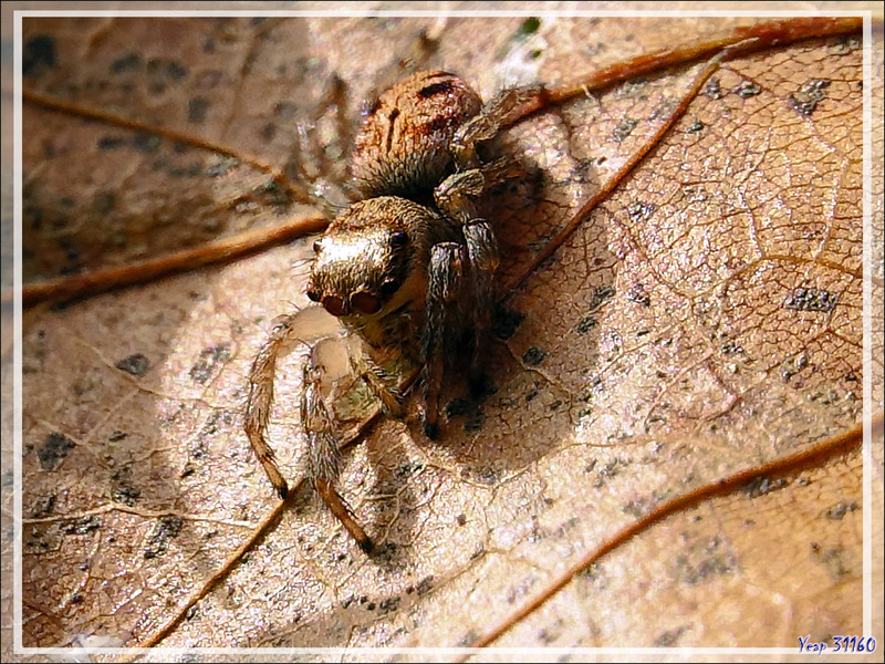 Araignée saltique (sauteuse) Evarcha arcuata femelle - Lartigau - Milhas - 31
