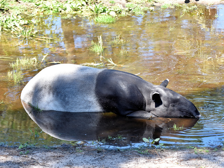 Photo de Tapir Malais - Zoo d'Arcachon