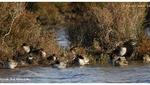 Canards souchets et Sarcelles d'hiver