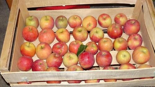Pommes et coings au verger de Francorville