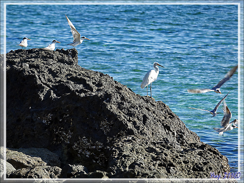 Aigrette et sternes ... - Presqu'île de Nosy Tsarabanjina - Archipel des Mitsio - Madagascar