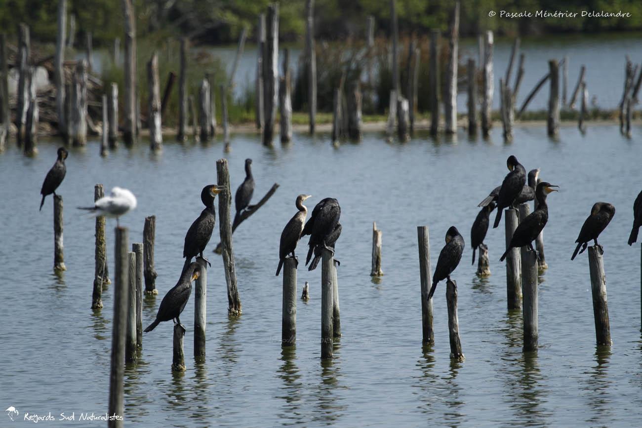 Grands Cormorans et Mouettes rieuses