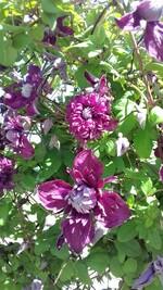 clématite viticella purpurea plena
