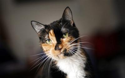 Une chatte parcourt 300 km pour retrouver sa famille