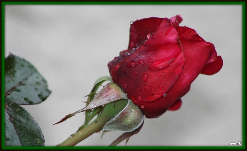 Les derniéres roses.