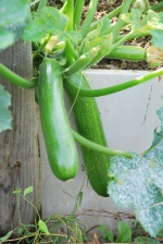 Courgettes fin septembre