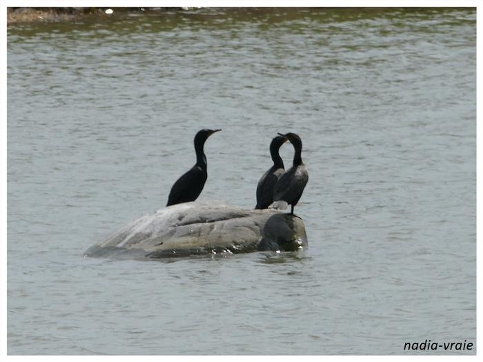 Des cormorans. (Communauté d'Amartia)