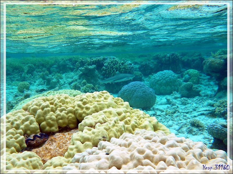 Chasse au requin pointes noires - Atoll de Fakarava - Tuamotu - Polynésie française