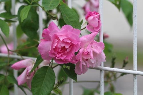Point roses ce soir