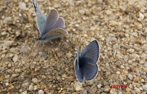 papillons (17)