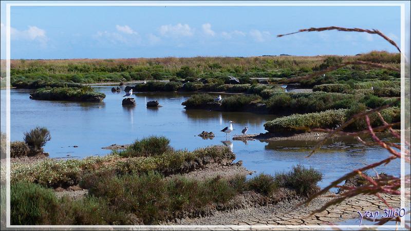 Goéland marin, Great Black-backed Gull (Larus marinus) et son poussin - Ars-en-Ré - Île de Ré - 17