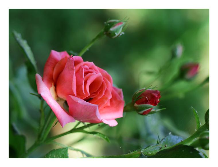 Rose en famille
