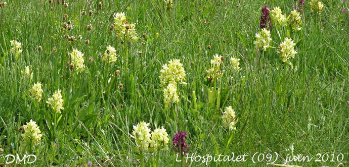 Dactylorhiza sambucina - orchis sureau