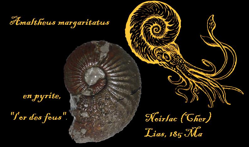 amaltheus margaritatus2
