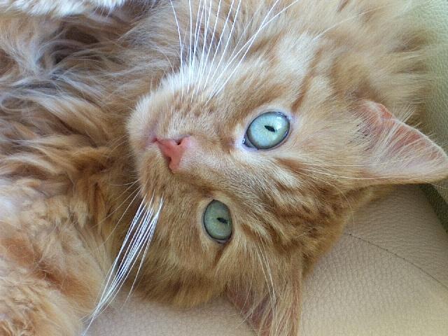 Chaton au yeux bleu