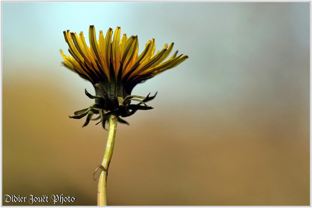Pissenlit (7) - Taraxacum
