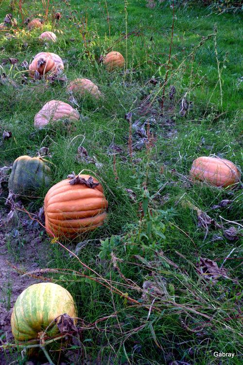 Les citrouilles dans un champ