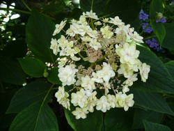 Ma collection d'Hortensias (Hydrangeas)