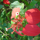 Mussaenda erythrophylla - Mussuenda Rouge - Photo : Yvon