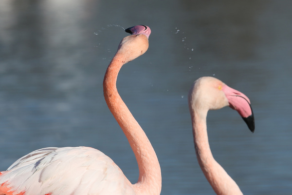 Portraits de Flamants roses