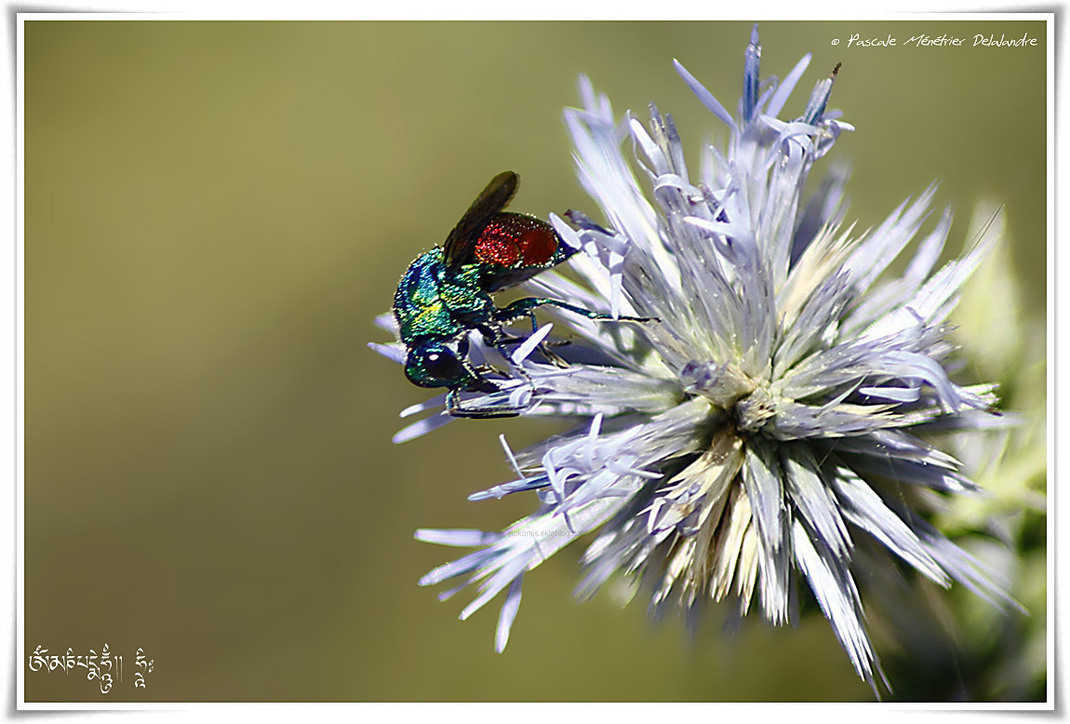 Chrysididae des Cerceris