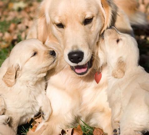 deux chiots Golden Retriever avec leur maman