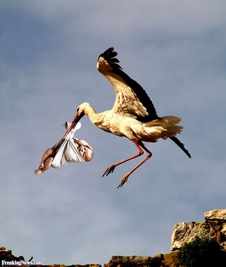 """Résultat de recherche d'images pour """"stork"""""""