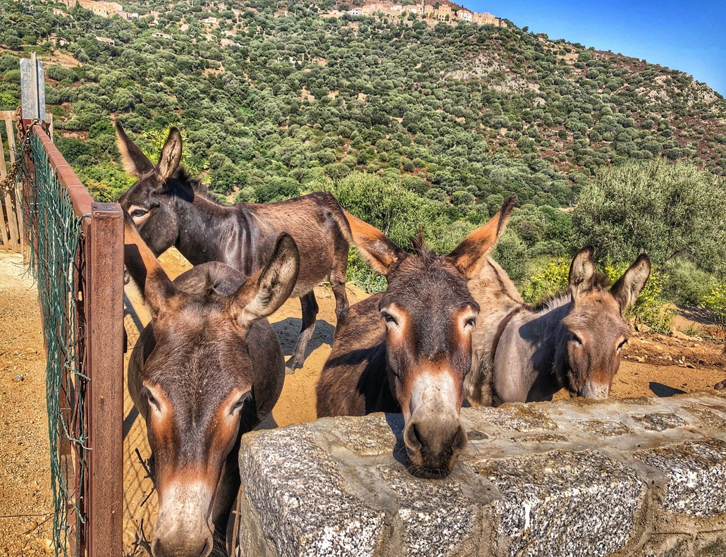 Les ânes de Santa-Reparata-di-Balagna - Corse