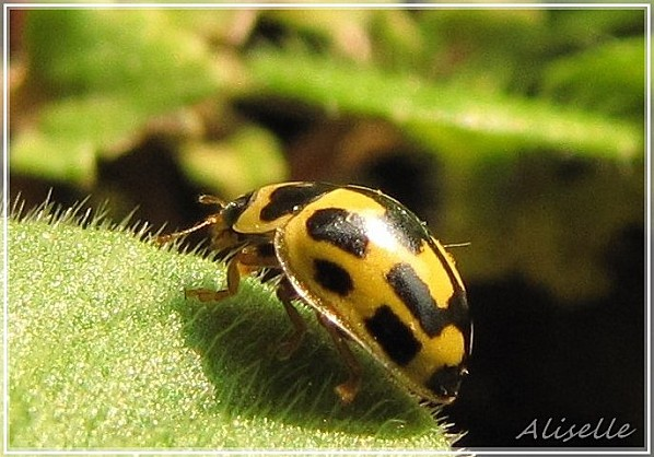 Coccinelle-jaune14-points-4.jpg