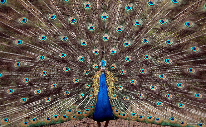 beautiful peacock feather photo