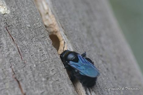 Xylocope Bleu