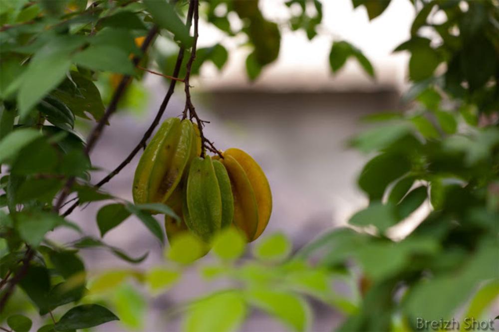 Caramboles dans le carambolier à Ubud